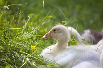 Lovely cute goslings