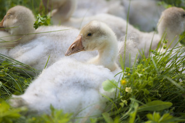 Lovely cute goslings