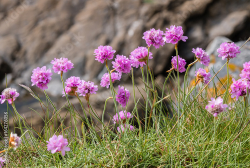 Sea thrift armeria maritima in bloom on the coastal cliffs of sea thrift armeria maritima in bloom on the coastal cliffs of cornwall the mightylinksfo