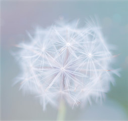 Beautiful close up single white flower dandelion on a color blue background. Spring flower, selective focus