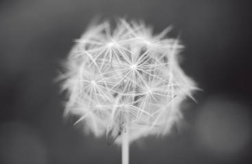 Beautiful close up single black and white vintage flower dandelion on a dark background