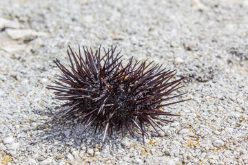 A sea urchin on the beach in Croatia