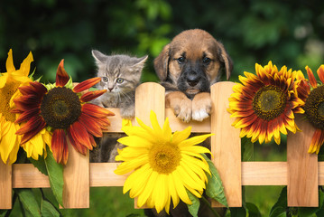 Little puppy with a little tabby kitten in the garden