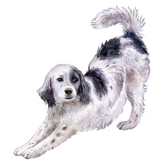 Dog English Setter isolated on white background. watercolor. Illustration. Template. Dog black and white