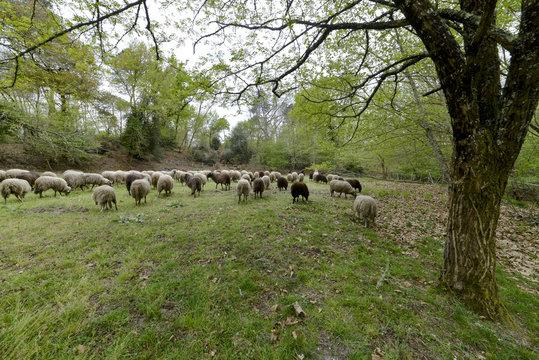 Mouton, brebis, race Landaise