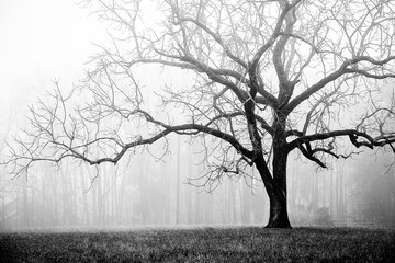 Foggy winter tree