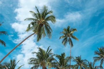 Stunning palm tree crowns with green leaves on sunny sky background. Coco palm tree tops - view from the ground. Palm leaf on sunny sky. Summer travel banner. Exotic island nature image