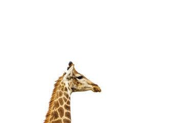 A giraffe's head isolated on a white background