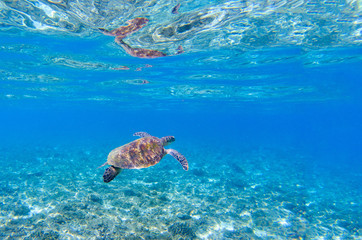 Sea turtle in blue water. Marine tortoise swims in shallow seawater.