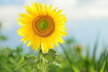 Sunflower blooming beautifully in the garden in summer.