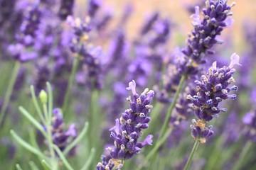 Blooming purple lavender flowers.
