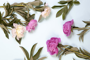the Pink and white peony flowers isolated on blue background