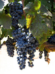 Bunches of purple grapes on the vine