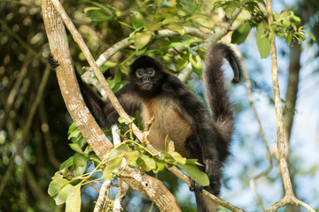 Foto op Aluminium Aap Spider Monkey of Guatemala