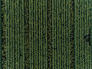 Aerial view of a sunflower field