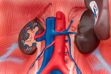 Close-up of Internal organs dummy on white background. Human anatomy model. Internal Anatomy of the Kidneys.