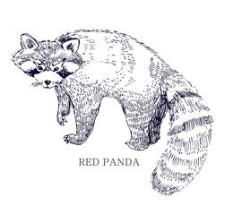Red panda, rare animal, conservation status