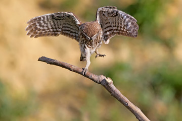 Little owl dancing on branch with wide open wings