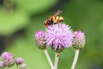 Close up of a yellow and black stripped hoverfly on purple plume thistle collecting pollen
