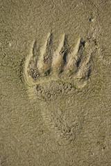 Grizzly Bear (Ursus arctos horribilis) foot print tracks in the mud