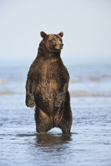 Grizzly Bear (Ursus arctos horribilis) fishing for salmon (silver or 'coho' salmon), Lake Clark NP, Cook Inlet, Alaska