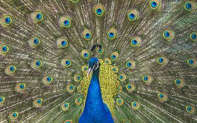 Wild animal world. Peacock with open colorful tail.
