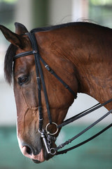 Young saddle horse under training canter in riding hall