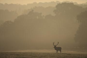 European Red Deer (Cervus elaphus). Dawn, Autumn, England