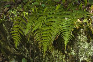 Ferns, Glen Burney Trail, Blowing Rock, NC