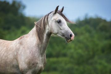 Fototapete - Portrait of beautiful white arabian horse