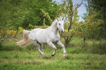 Fototapete - Beautiful lipizzaner stallion running on the pasture