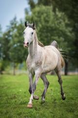 Fototapete - Arabian horse running trot