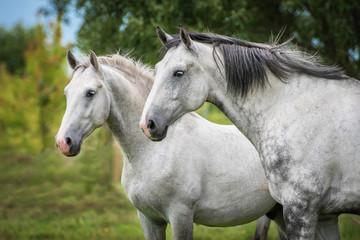 Fototapete - Two white horses