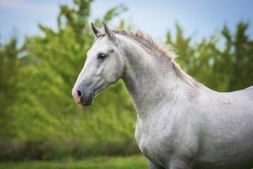 Fototapete - Portrait of lipizzaner horse