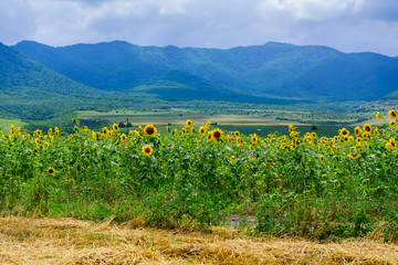 Amazing rural scene with golden sunflowers, Armenia