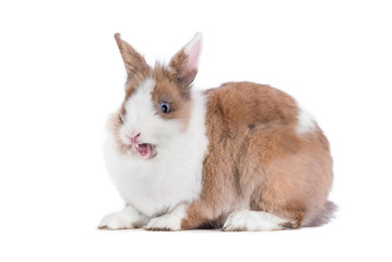 Funny yawning rabbit isolated on white