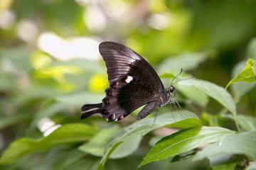 Butterfly black