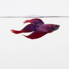 red and purple betta fish swimming against a white background