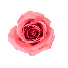 Top view and isolate image of beautiful pink rose flower. Valentine day, love and wedding concept.