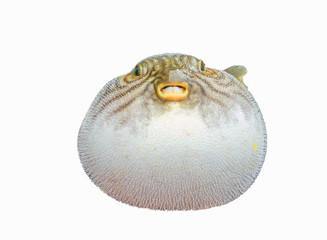 inflated puffer fish on white background