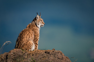 Photo on textile frame Lynx Lynx in profile on rock looking up