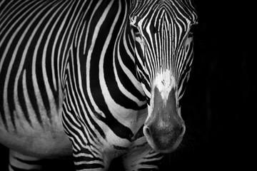 Mono close-up of Grevy zebra standing staring