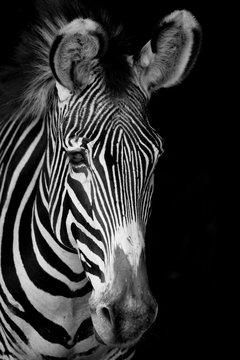 Mono close-up of Grevy zebra facing forward