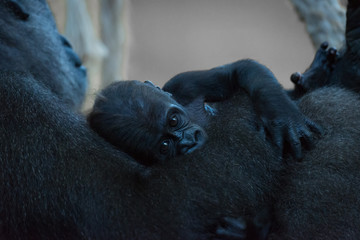 Baby gorilla held in arms of mother