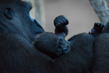 Baby gorilla in arms of seated mother