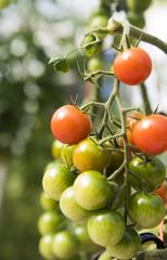 Tomato Portrait