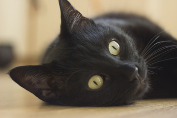 Portrait of a black cat with big eyes