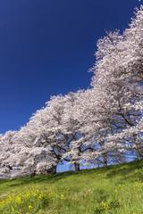 満開の白石川堤一目千本桜