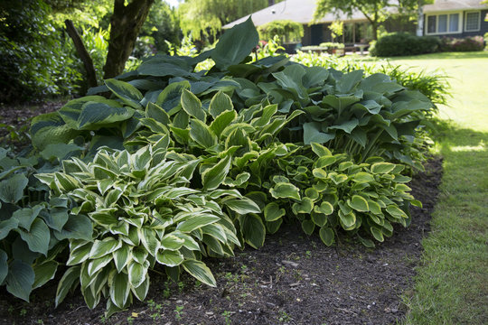 Featured View, Hosta Plant Mix, Green, White, Blue, and Yellow Foliage, Soil Ground,  Out of Focus Lawn /House Background, Daytime