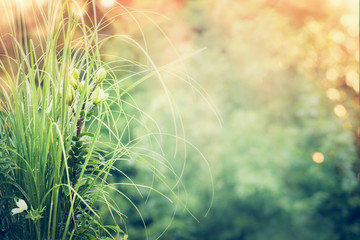 Beautiful garden with pampas grass and green lily at nature background with sunlight and bokeh. Summer garden